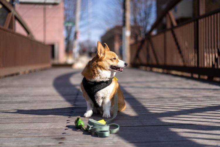 Dog looking away on footpath