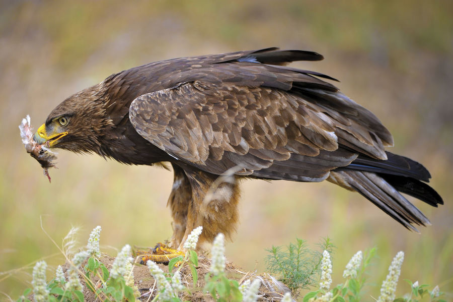 Tawny Eagle feeding Animal Themes Animal Wildlife Animals In The Wild Beak Bird Bird Of Prey Close-up Day Feather  Nature No People One Animal Outdoors Perching Southern African Tawny Eagle
