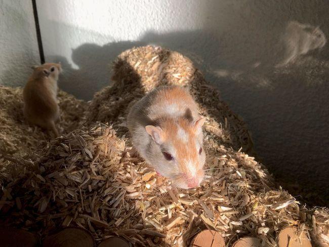 Gerbil Gerbils Rennmaus Animal Themes Close-up Domestic Animals Mammal Mice Mouse Pets
