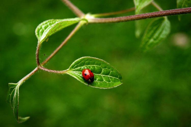 Ladybird Ladybug Bug Life Clematis Red Green Relaxing In My Garden