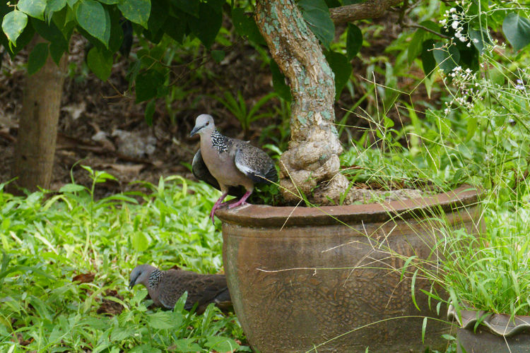 Animal Themes Animals In The Wild Animal Nature Vertebrate One Animal Focus On Foreground Day Tree Plant Animal Wildlife Bird No People Land Outdoors Growth Perching Branch Green Color Pigerons Birds In Thailand Pigeons In Thailand