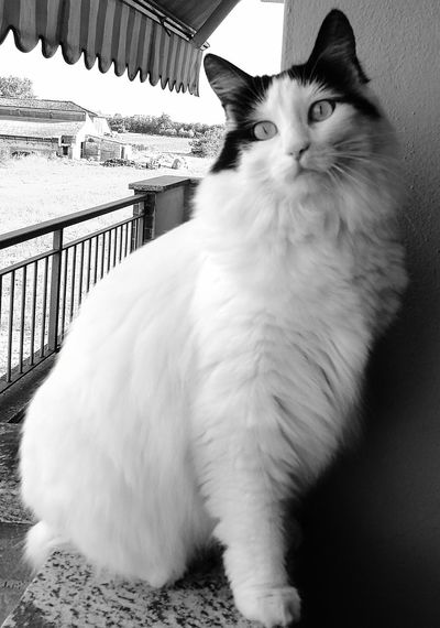 Black & White Domestic Animals Pets Feline One Animal Cat♡ White Cat la mia Nina