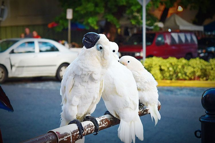 Close-up of cockatoos on pole by road