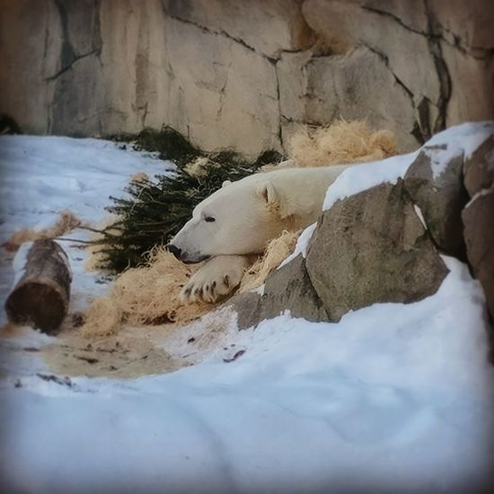 #polarbear #shy #snowbear #bear #wildlife #exoticlife Shy Polar Bear Bear Animals In The Wild Nature No People Animal Wildlife Water Outdoors Day Cold Temperature Mammal Beauty In Nature Close-up Animal Themes Shades Of Winter
