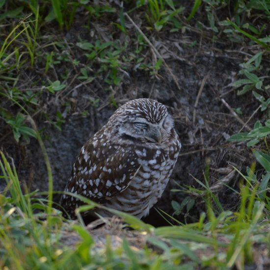 Animal Themes One Animal Animals In The Wild Wildlife Bird Field Zoology Nature Outdoors Animal Head  Day No People Burrowing Owls Burrowing Owl United States Florida Beak Nature Sleeping