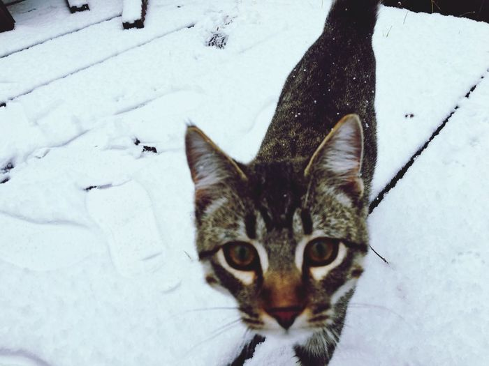 Snowy cat ❄️ Domestic Cat Pets Domestic Animals Mammal Looking At Camera Feline Portrait One Animal Animal Themes Winter No People Outdoors Snow Day Cold Temperature Close-up