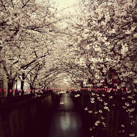 Early morning cherry blossoms in Nakameguro Flower Cherry Blossoms Tokyo Japan