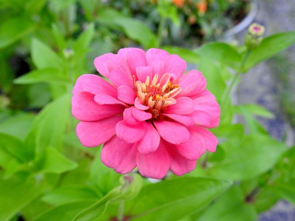 Flower Close Up Flower Garden Flowers,Plants & Garden Nature Nikon P900 Zinnia  Floral Floral Photography Flower Collection Flower Macro Flower Photography Garden Photography Hot Pink Flower Pink Flower Pink Flower Blossom Pink Flowers Green Background Pink Zinnia Zinnias, Flowers