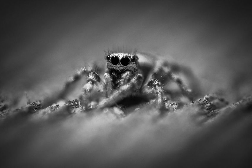 Cuuuute Jumping Spider Hoppspindel Arachnid Spider Spindel Canon 100mm Canon 70d Macro Beauty Macro Photography Canon Selective Focus No People Close-up Invertebrate Insect One Animal Animals In The Wild Animal Animal Themes Animal Wildlife Nature