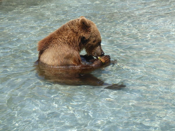 Taken at napoli zoo 2016,just chilling with an apple in the water... Eating Bear Cub Nature Animal Themes Bear Cub No People One Animal Outdoors Water