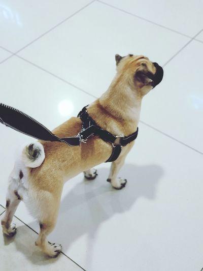 Pugs Pug Life