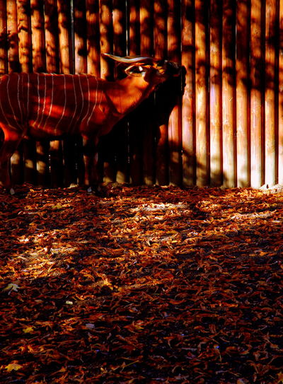Animals Antelope Bongo Antelope Brown Camouflage Frankfurt Frankfurt Zoo Light Nature Shadow Striped Antelope Zoo