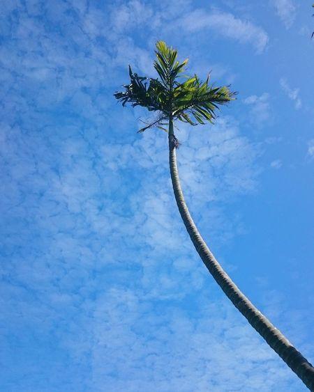 Okinawa Palm Tree Blue Low Angle View Tree Sky Outdoors Cloud - Sky Day No People Nature Beauty In Nature