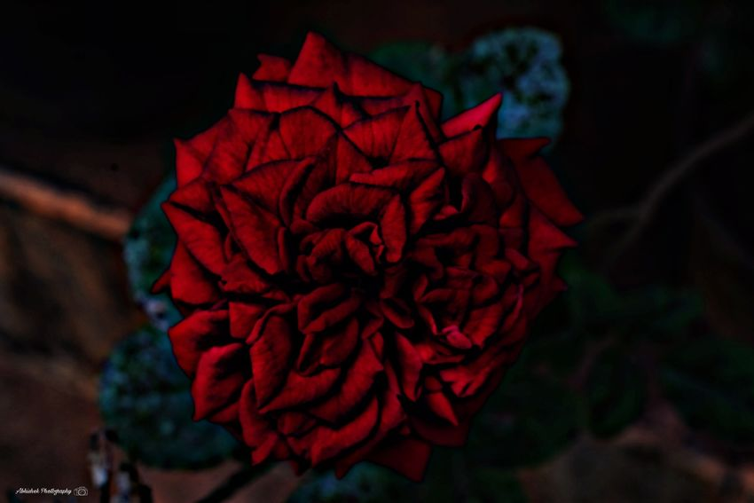 Rose🌹 Clicked On Nikon D3300 Freshness Red Flower Petal Plant Outdoors Nature Close-up Day No People