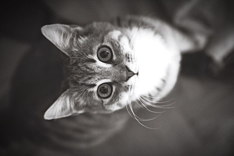 Catface Cat Cats Kitten Kittenface Animals Animal_collection Animal Photography Gray Greyscale Grayscale Grey Mammal Portraits Portrait Fur Ears Kittens Cute Kitten Mammals Pets Pet Cute Pets Cute Cats Cutecats