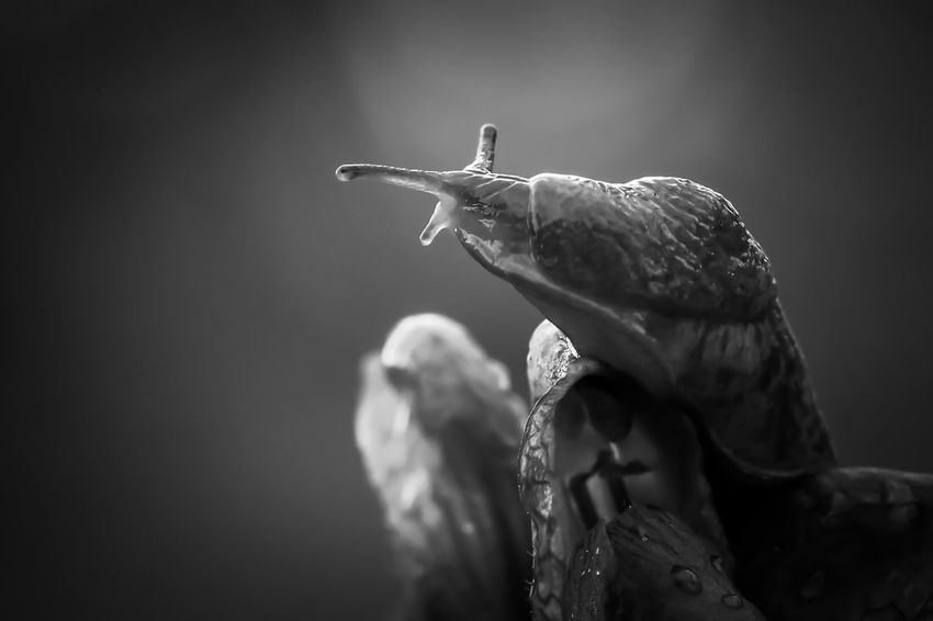 🐌 Blackandwhite Snail Canon 100mm Macro Photography Canon 70d Macro EyeEm Selects Animal Animal Themes One Animal Animals In The Wild Focus On Foreground Animal Wildlife Close-up Nature
