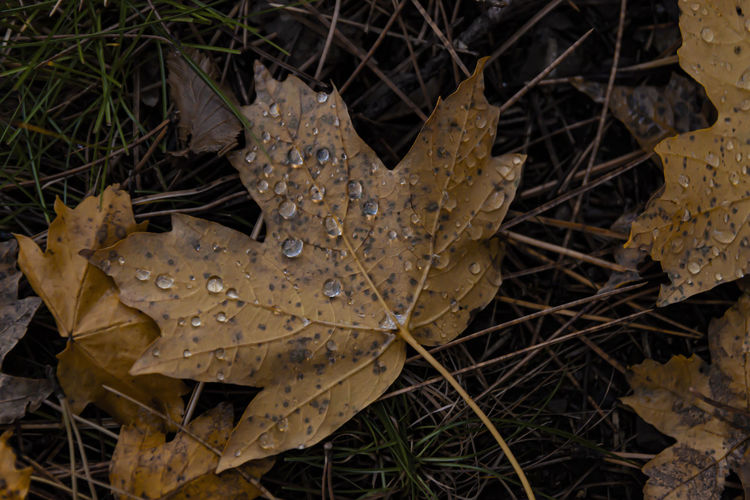 High angle view of wet maple leaf on field