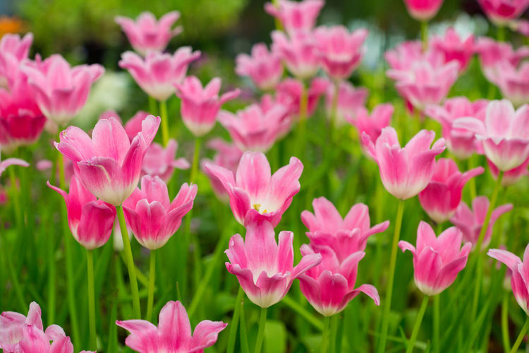 Tulips🌷 Flower Flowering Plant Freshness Plant Fragility Vulnerability  Beauty In Nature Close-up Petal Focus On Foreground Growth Inflorescence Flower Head Nature No People Day Outdoors Flowerbed Pink Color Field Land