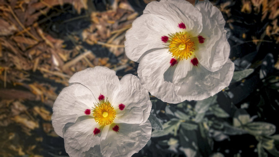 EyeEm Nature Lover Cheerful Cistus Paper Like Flower Red Dots Welcoming White Petals Yellow Centers