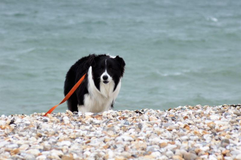 Pedigree Border Collie standing on the vanishing point at the beach. Animal Themes Animal One Animal Border Collie Blackandwhite Capture Leash Water Sea Mammal Vertebrate Domestic Domestic Animals Pets Pet Owner Canine Dog Animal Head  No People Beach Pebble Pebble Beach vanishing point Wave Looking Looking At Camera High Angle View Selective Focus Multicolored Worried Look Solid Rock Nature Beauty In Nature Outdoors Front View Day The Traveler - 2019 EyeEm Awards