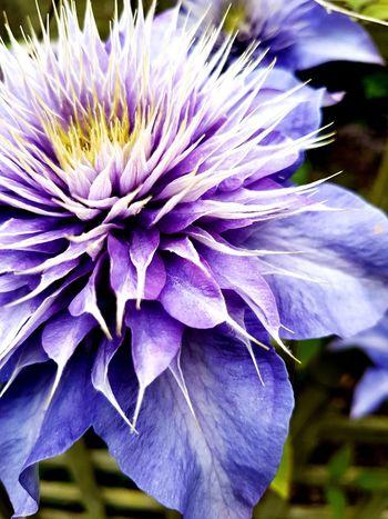 Purple Clamatis Flower Head Petal Purple Close-up Blooming Plant