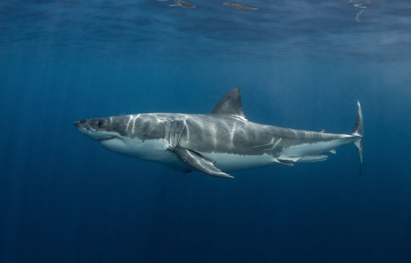 Great White Shark - Carcharodon Carcharias - South Australia Agressive Australia Carcharodon Carcharias Diving SCUBA South Adventure Attack Bite Blood Cage Close-up Dangerous Great Mako Predator Shark Sharp Side View Smile Sun Beams Teeth Underwater underwater photography White