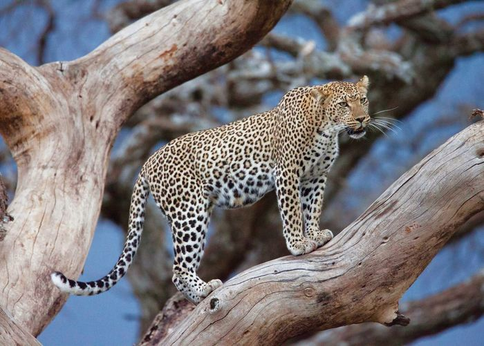 Leopard standing on tree