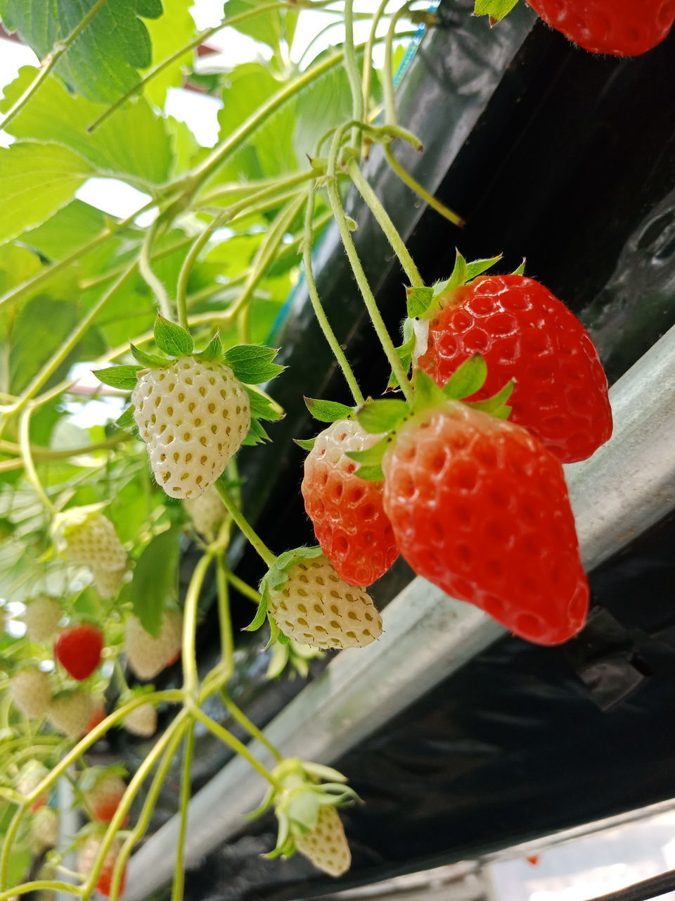 fruit, berry fruit, food, healthy eating, freshness, growth, strawberry, food and drink, close-up, red, plant, no people, wellbeing, day, nature, ripe, leaf, plant part, beauty in nature, green color