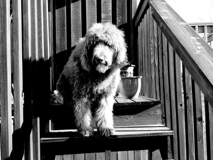Goldendoodle relaxing on steps