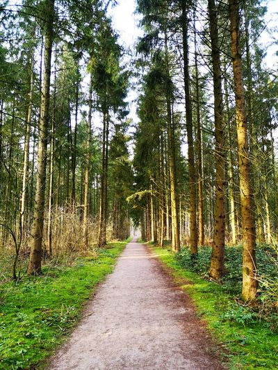 Footpath amidst pine trees in forest