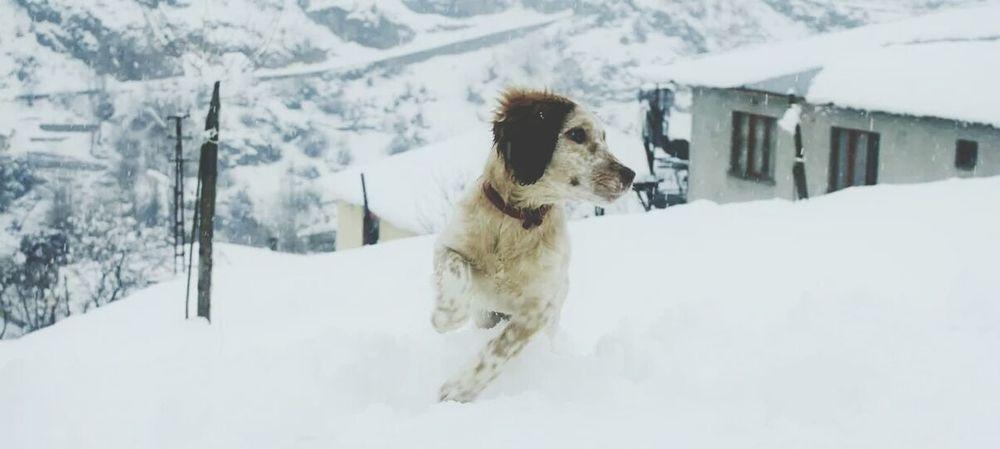 Setter Star Winter Hunter Yavruköpek Action Populer Photos Snow ❄ Sektör Yapım EyeEm Best Shots