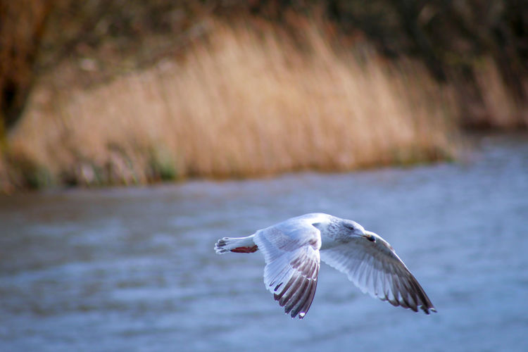 Lakeside Springtime Feather  Seagull EyeEm Best Shots EyeEm Nature Lover EyeEmBestPics EyeEm Best Shots - Nature Beauty In Nature Wonders Of Nature Bird Spread Wings Flying Motion Mid-air Animal Themes Close-up Animal Wing Flapping