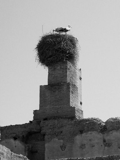 From bottom a couple nest Stork Couple On The Chmney Storks Nest Top Of A Chmney Chmney Architecture Fauna Two Birds Storks On The Top Vertical Bird Photography EyeEm Best Shots - Black And White Black And White - Birds Eyeem Best Shots - Birds In Morocco