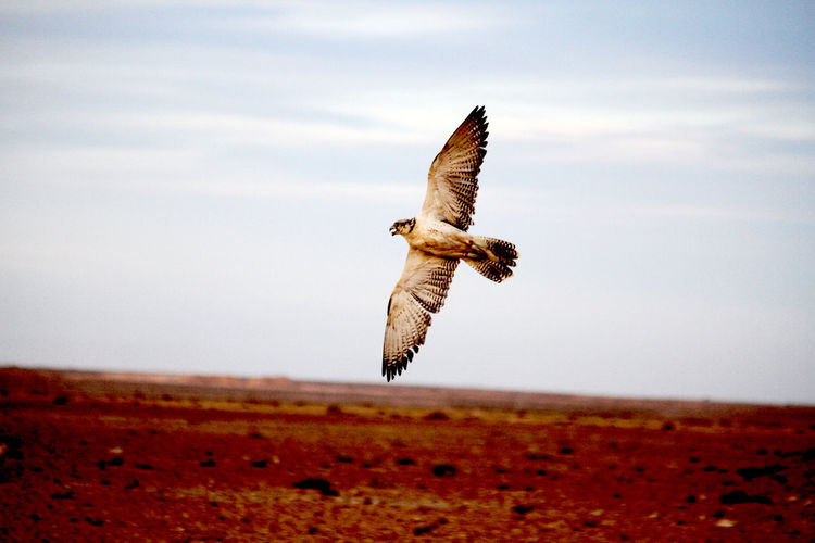 Falcon flying over land against sky