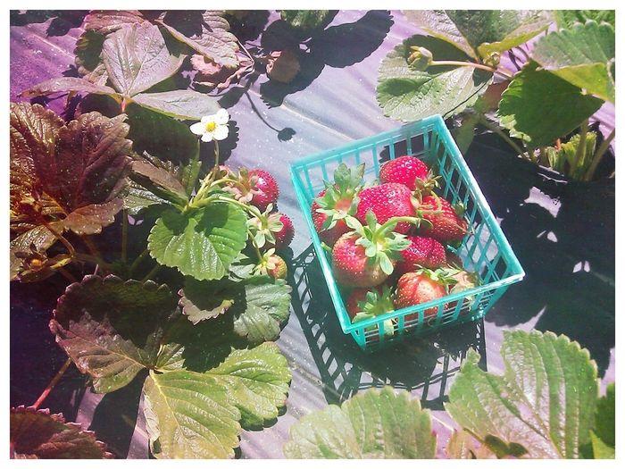 Picking Strawberries!