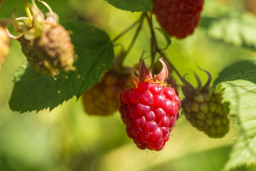 Ripening raspberry in the sun Beauty In Nature Berry Fruit Close-up Day Focus On Foreground Food Food And Drink Freshness Fruit Green Color Growth Healthy Eating Home Grown Fruit And Vegetables Leaf Nature No People Outdoors Plant Raspberry Red Ripening Fruit Tree Vegetable Garden