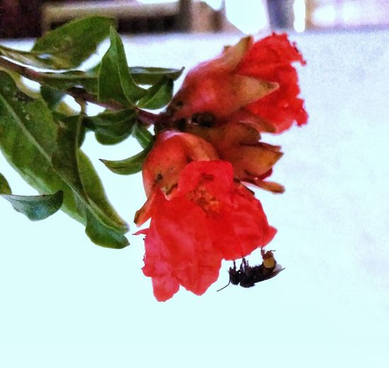 green, red & black bee Pomegranate Blossom Fruit Tree Green Leafs Polinization Outdoor Photography Black Bee Flower Flower Head Tree Red Leaf Close-up