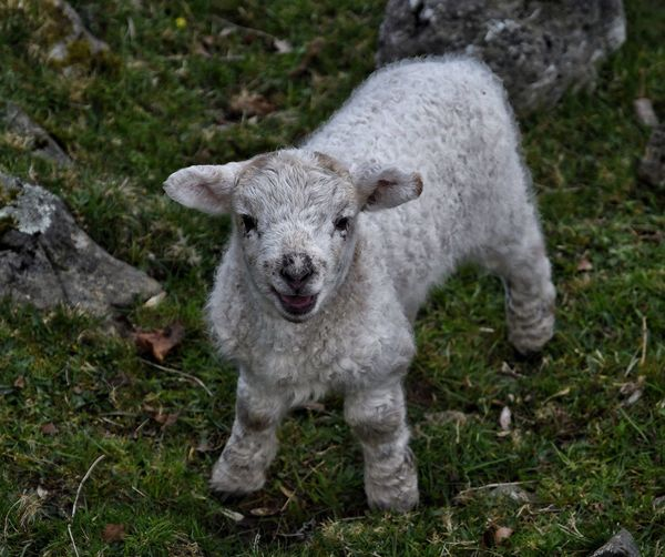 Close-up of lamb looking at camera