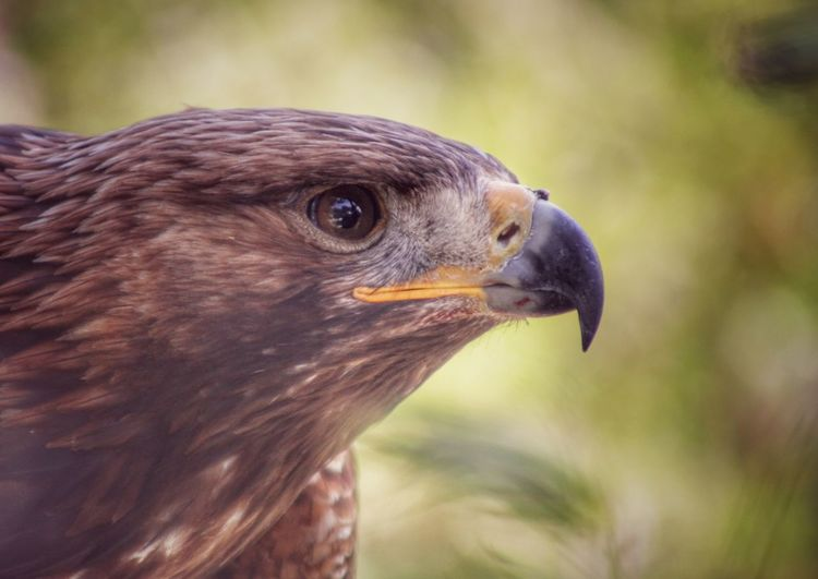 Powerful Nature Powerful Birds Beak Eagles Beak Eagle Beak Eagle Close-up Eagle Eye Birds Of EyeEm  Birds Of Prey Eagle Head Eaglephotography EyeEm Gallery Eagle Portrait Beauty In Nature Nature BestofEyeEm Birds Of EyeEm  Bird Of Prey Birds Of EyeEm  Eagle - Bird HEAD Animals Hunting