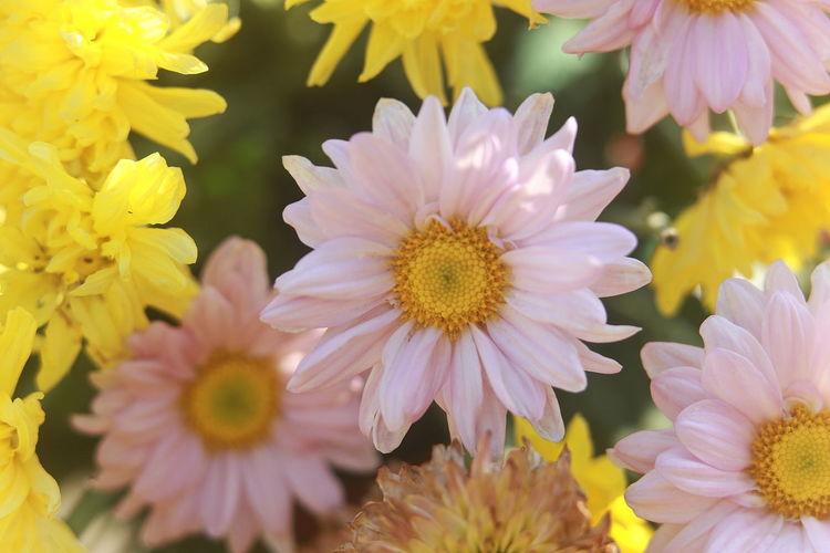 Close-Up Of Gerbera Daisy Flowers
