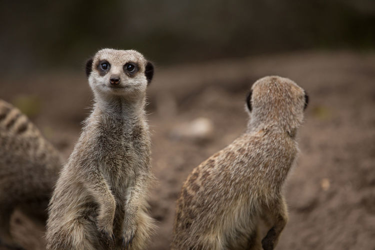 Animals In The Wild Slender-Tailed Meerkat Wildlife & Nature Wildlife Photography Animal Animal Photography Animal Themes Animal Wildlife Animals Meerkat Wildlife