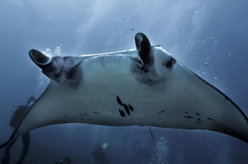 Manta Ray BIG Underwater Sea Marine Animals In The Wild One Animal Sea Life Water Fish Swimming Nature UnderSea Scuba Diver Motion Diving Divingphotography No People Maldives Indian Ocean Wings