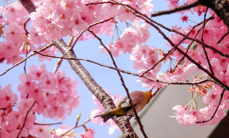 Q Cute♡ Cuteness Bush Warbler Peach Blossom Beautiful Nature Beauty In Nature Beautiful Spring Tree Beautiful Pink Beautiful Tree Beautiful Bird Springtime Spring Into Spring Spring Flowers