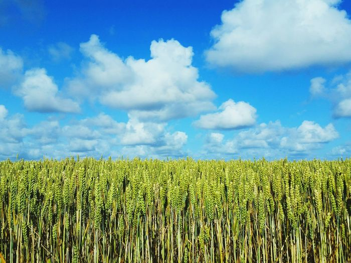 Summer Crops Field Blue Sky Clouds Crops Wirral Raf West Kirby