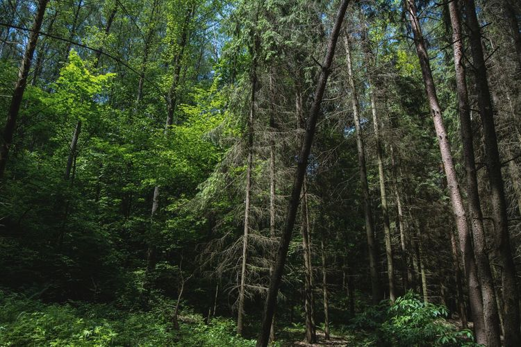 Low Angle View Of Trees Growing In Forest