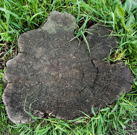 Tree Tree Tree Trunk Cutted Tree Cutted Wood Tree Rings Tree Rings Pattern Tree And Grass Tree And Grass Collection Dead Tree Grass Around The Tree Green And Brown Nature Life Tree Life Being A Tree Tree_collection  Cut Cutted Green Grass Field Close-up Grass Green Color Textured  Rough Plant Life Backgrounds Natural Pattern Detail Tree Stump Tree Ring