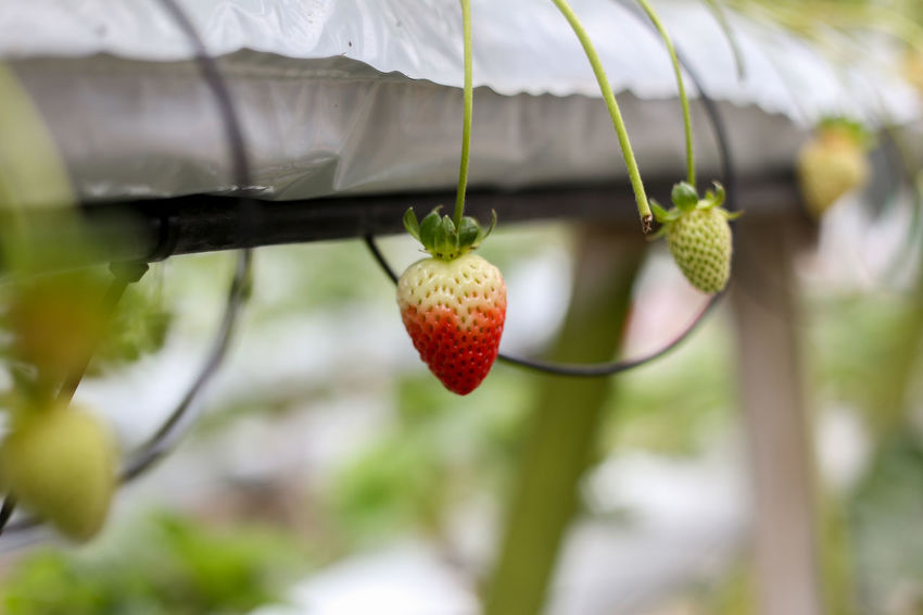 Strawberry Strawberries Fruit Healthy Eating Food And Drink Food Focus On Foreground Freshness Growth No People Close-up Day Plant Wellbeing Red Nature Outdoors Berry Fruit Ripe Tree Agriculture Hanging Lychee