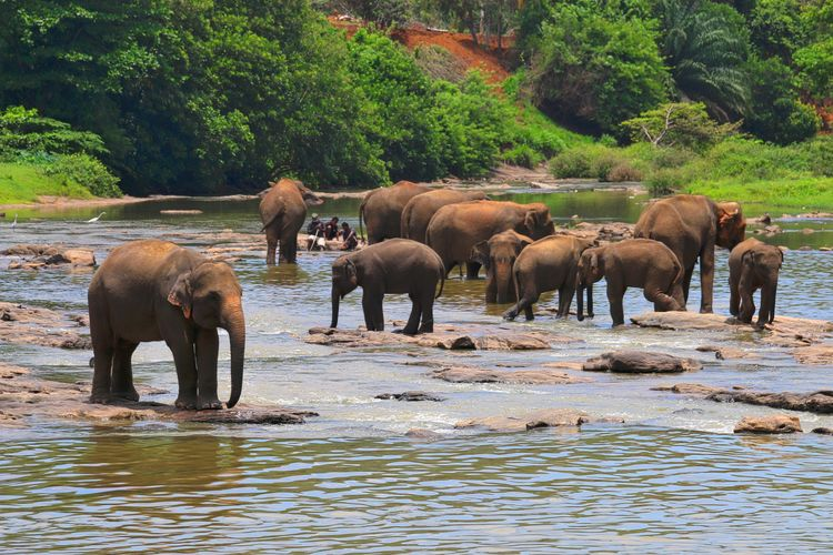 Asian Elephants At Riverbank In Forest