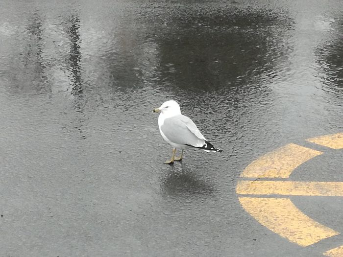 Lost Lost In The City Lost in the Landscape Rainy Days Rainyweather Rain In The City Solitude In The Middle Of The Road Bird Water Beach Perching Seagull Sea Bird