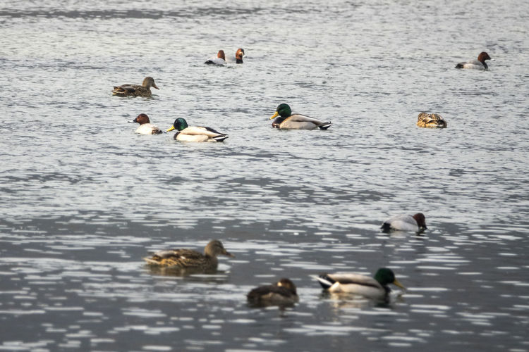 Cheongryongpo, Yeongwol, Gangwondo Animal Themes Animals In The Wild Bird Day Duck Geese No People Outdoors River Rural Landscape Swimming Water Wildlife